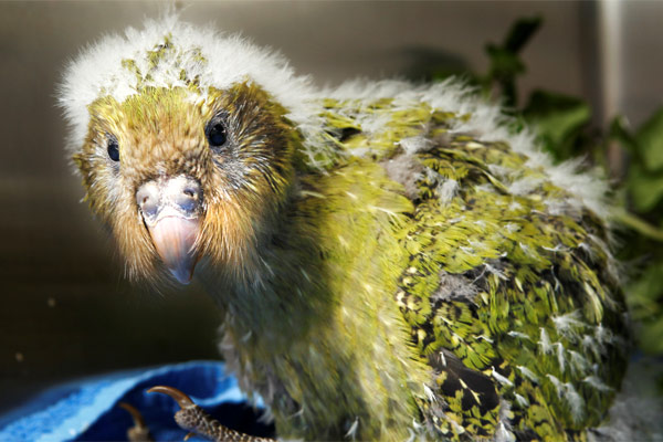 10 Fun Facts About Kakapo World S Facts