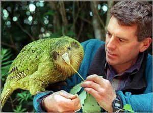 feeding-kakapo