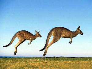 jumping-kangaroos