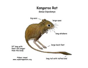kangaroo-rat-description