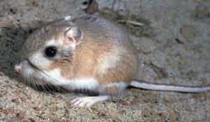 kangaroo-rats