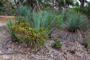 tate-grass-tree-in-kangaroo-island