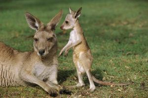 joey-the-baby-kangaroo