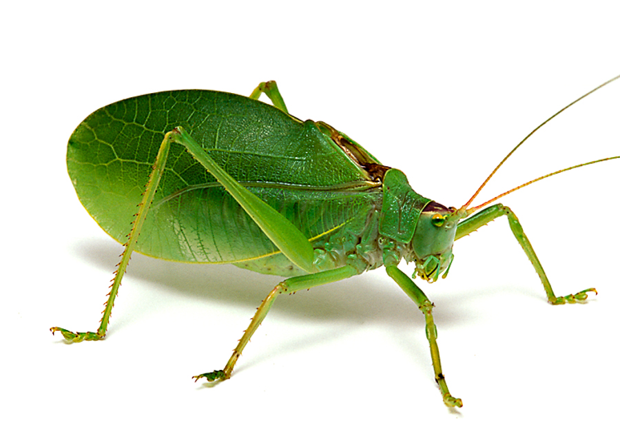 Top 10 Facts About Katydids | World's FactsWorld's Facts